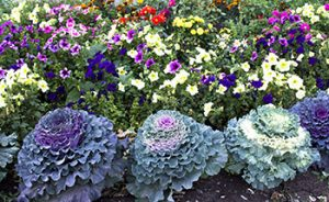 Ornamental kale in a Fall Garden