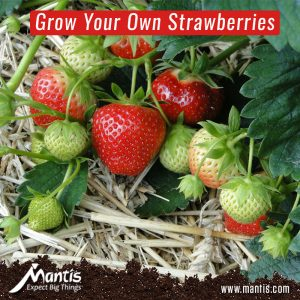 Strawberry, Garden, Grow
