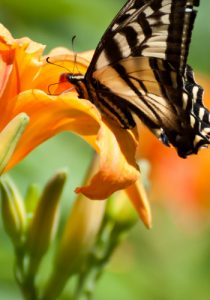 Daylilies attract butterflies