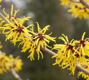 American Witch Hazel blooms twice a year