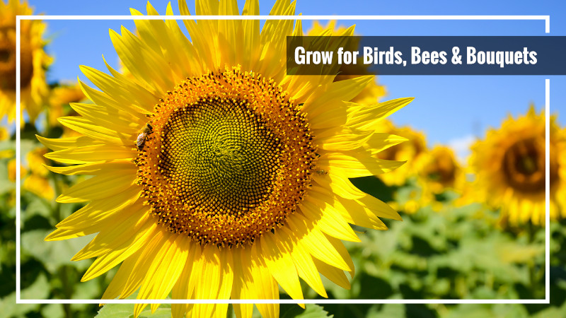 sunflowers attract pollinators