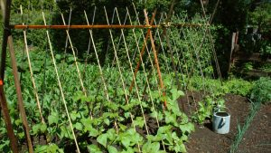 Growing vegetables up trellis saves space